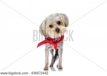 adorable yorkshire terrier dog posing with attitude and wearing a red bandana on white background