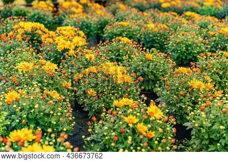 Flowers Production And Cultivation Close Up. Chrysanthemums In The Plantation Nursery