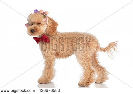 side view of a cute caniche dog blinking right in the middle of the photo and wearing a headband of flowers