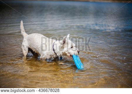 Small White Dog Holding Flying Disc In Mouth In Water Blinking Eyes In Sunlight   West Highland Whit