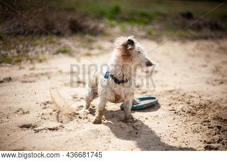 West Highland White Terrier Dog Shaking And Splashing Water Drops | Front View Portrait Of White Ter