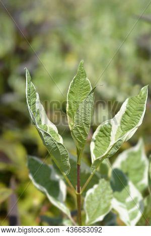 White Dogwood Elegantissima New Leaves - Latin Name - Cornus Alba Elegantissima