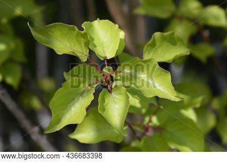 Apricot Tree Leaves - Latin Name - Prunus Armeniaca