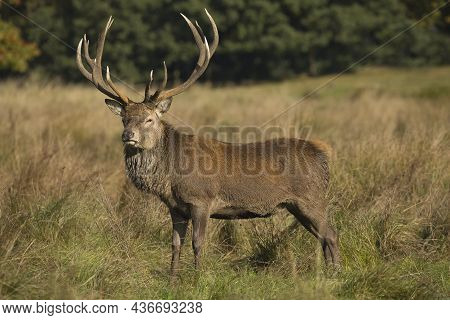A Red Deer Stag With Large Antlers Standing In Grass
