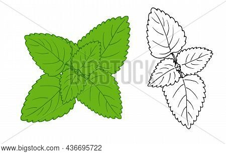 Mint Drawing. A Sketch-style Set Of Fragrant Mint Plant, Green Top View, Isolated Black Outline On W