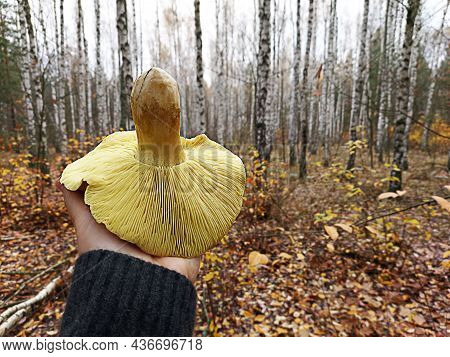 One Plate Mushroom In His Hand Against The Background Of The Autumn Forest. Trees Without Leaves, Cl