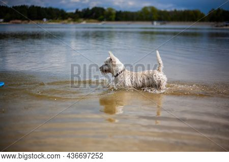West Highland White Terrier Dog Playing With Flying Disc And Fetching In Water   Small White Terrier