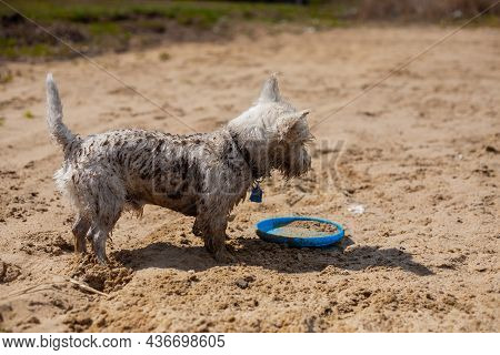 Wet West Highland White Terrier Dog Covered With Dirt And Sand Playing With Flying Disc On A Beach  