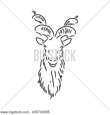 The Head Of A Goat With Large Screw Horns And Thick Hair Looks Straight Full-face, Sketch Vector Gra