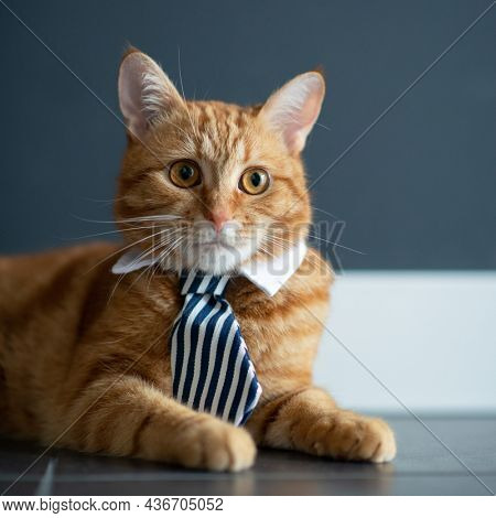 Fashion red tabby cat wearing business tie with white shirt collar. Gorgeous fluffy adorable young pet ready for office work