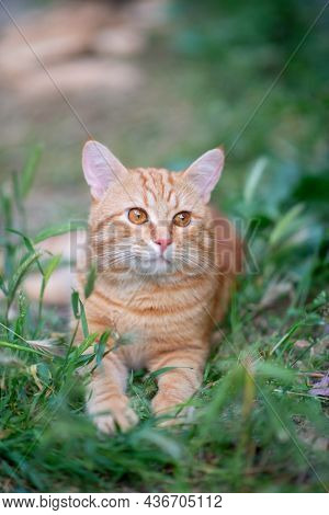 Beautiful young red tabby cat lying in the grass, summer nature outdoor