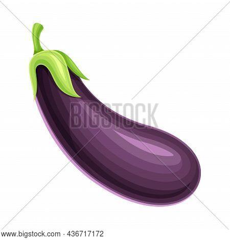 Ripe Purple Eggplant Vegetable As Healthy Raw Food And Garden Cultivar Closeup Vector Illustration