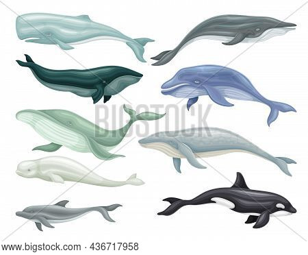 Whale As Aquatic Placental Marine Mammal With Flippers And Large Tail Fin Vector Set