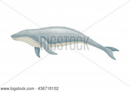 Whale As Aquatic Placental Marine Mammal With Flippers And Large Tail Fin Closeup Vector Illustratio
