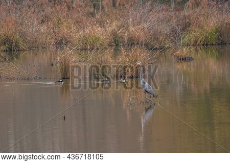 Great Blue Heron Standing In The Shallow Water Fishing While A Group Of Hooded Mergansers Swim By In