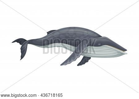 Minke Whale As Aquatic Placental Marine Mammal With Flippers And Large Tail Fin Closeup Vector Illus