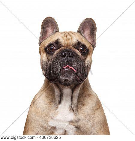 French Bulldog Stick Her Tongue. Vertical Studio Shot Isolated Against White Background. Portrait Du