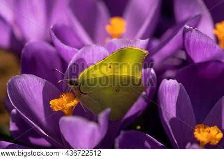 First Spring Purple Crocus Flowers.yellow Cabbage Butterfly Pollinating On Purple Crocus Flower Suck