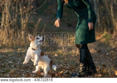 Wire-haired Jack Russell Terrier Puppy Stands In Front Of A Girl's Feet In An Autumn Park