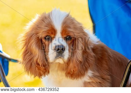 Close-up Of A Cavalier King Charles Spaniel Dog Looking Intently At The Camera