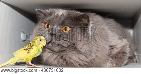 British Cat Sniffing A Parrot. Funny Animals. Friendship Of Animals. Close-up.