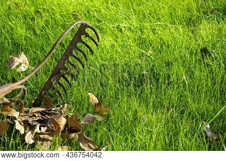With A Rake, They Collect Yellow Leaves From Green Grass In Autumn. Fallen Leaves On The Lawn Grass.