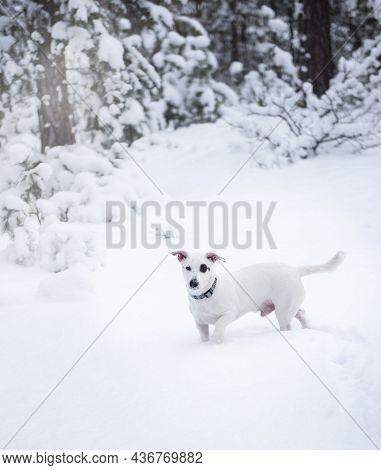 Jack Russell Terrier In Outdoor In Winter Snow
