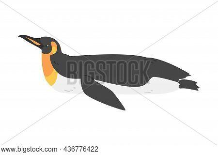 Emperor Penguin As Aquatic Flightless Bird With Flippers For Swimming In Lying Pose Vector Illustrat
