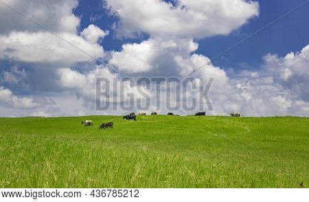 Cows In The Field Eating Grass, Photo Of Several Cows In A Green Field With Blue Sky And Copy Space,