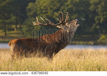 A Red Deer Stag With Large Antlers Bellowing