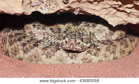 A Massasauga Rattler Coiled In Its Den