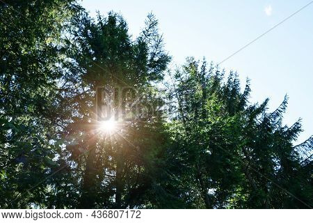 Bright Sun Shining Through Coniferous Trees In Forest, Low Angle View