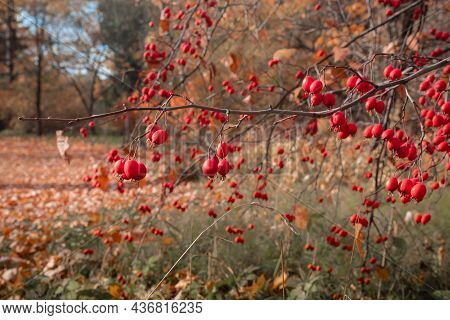 Red Ripe Hawthorn Berries On A Tree Branch In Autumn, Harvest Hawthorn In The Garden, Autumn Backgro