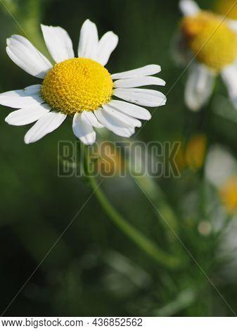 White Daisies In The Morning Garden, Macro