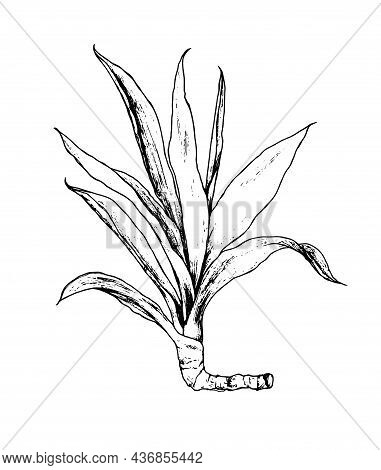 Drawing Yucca. Hand-drawn Sketch-style House Plant With Long Narrow Leaves Ficus Isolated Black Outl