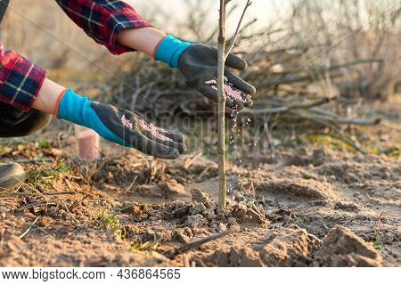 Fertilizing Young Tree In A Spring Garden With Chemical Mineral Graduated Fertilizers