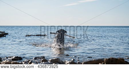 Black Labrador Puppy Retrieving A Stick From The Sea Water On A Beautiful Sunny Day.