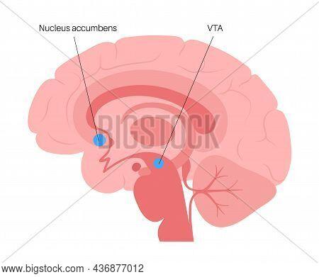 Nucleus Accumbens And Vta Concept. Human Brain Anatomy In Male Head. Cerebral Cortex And Cerebrum Me