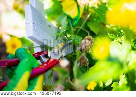 Autumn Pruning Of Flowers And Shrubs With Metal Pruning Shears. Garden Care.