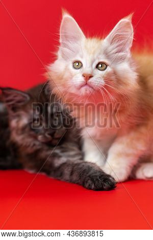 American Longhair Twin Kittens Of Maine Coon Cat On Red Background. Sister Of Black Smoky Color, Bro