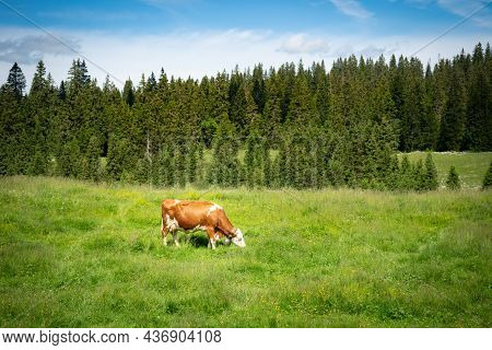 A Cow Grazing On A Paddock In The Swiss Jura Hills