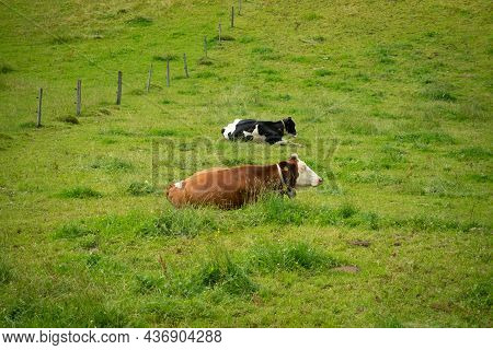 Happy Cows On A Paddock In The Swiss Jura Hills