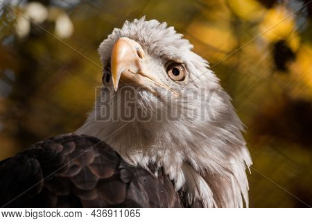 Close-up Of The Eagles Head Looks Up. High Quality Photo