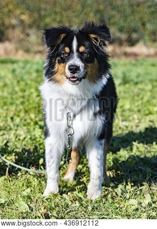 Young Australian Shepherd Staying In A Training For Obedience