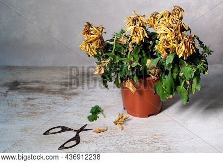 A Withered Flower In A Pot On A Gray Background. Indoor Flower Has Dried Up In A Pot. Chrysanthemum