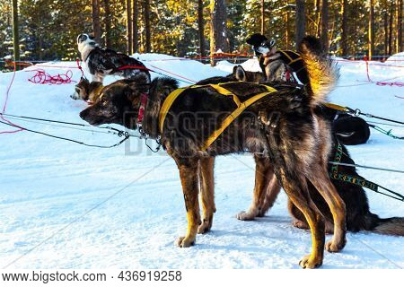 An exotic trip to the Arctic. Dog sled carries a sled with tourists. The toboggan run is rolled in deep snow. The sun is low on the horizon. Travel to Santa Claus. Short winter day in the Lapland