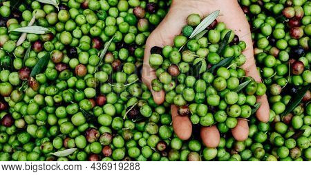 closeup of the hand of a young man with a bunch of olives freshly harvested in an olive grove in Catalonia, Spain