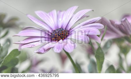 A Purple Daisybush, African Daisy, Osteospermum Ecklonis With Dewdrops On The Leaves.