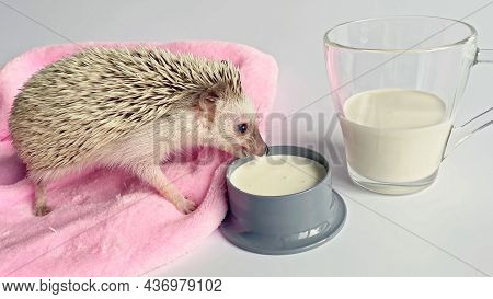 Little Hedgehog Drinking Milk From Bowl, Glass With Milk On White Background