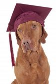 pure breed gold color pointer dog wearing graduation cap with tassel isolated on white background poster